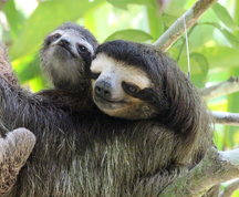 Bradypus sloth mother and baby