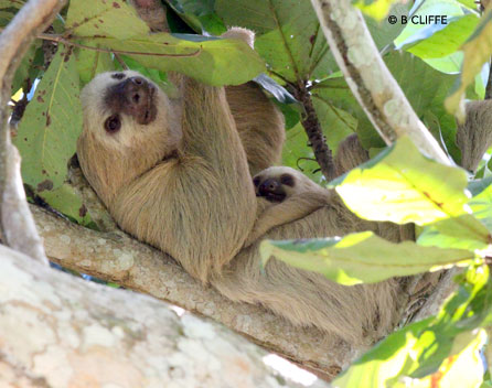 Mother and baby Choloepus in tree