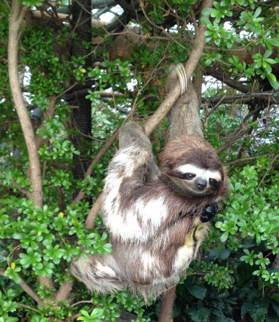 Leno, a Costa Rican sloth from the Sanctuary, resides at the Dallas World Aquarium.
