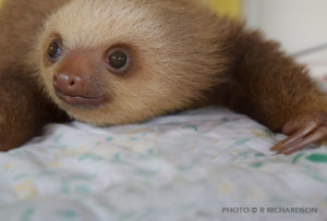 Infant choloepus at the Sloth Sanctuary