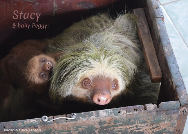 A mother sloth and her baby arrive at the Sanctuary