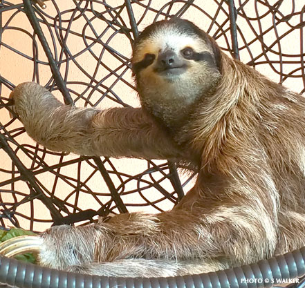 Buttercup the Sloth in her chair