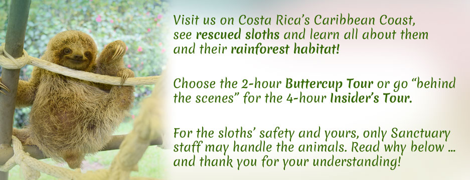 Visit us on the Caribbean Coast and see rescued sloths! Sorry, for their well-being and yours, only Sanctuary Staff may handle the animals. Read more about why below. And thank you!