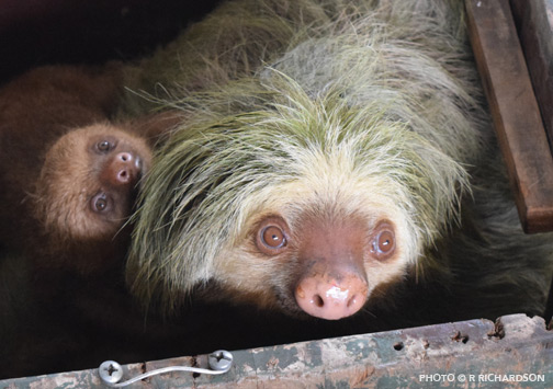 Mother and baby sloth arriving upon rescue