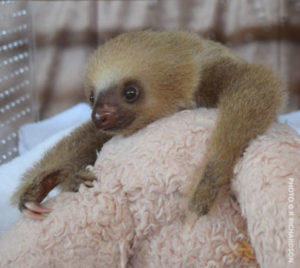 Tiny rescued infant sloth in a NICU incubator